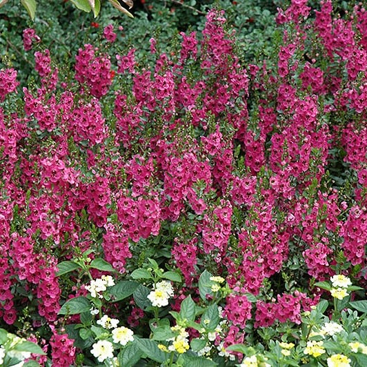 Angelonia A Serena Rose Beds Borders