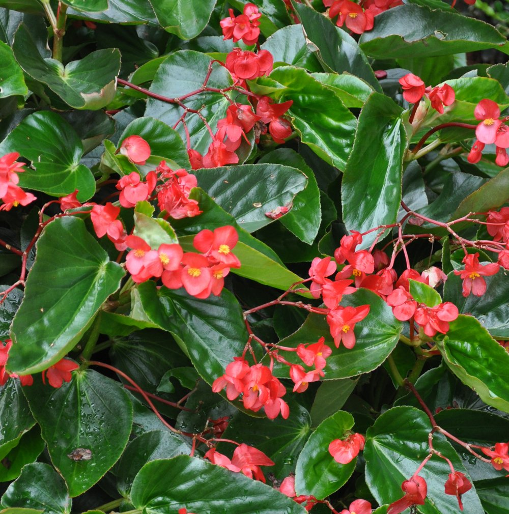 Begonia X Dragon Wing Red Beds Borders