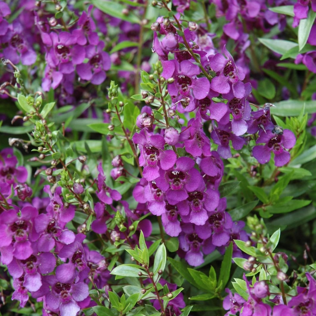 Angelonia A Arcangel Dark Purple Beds Borders